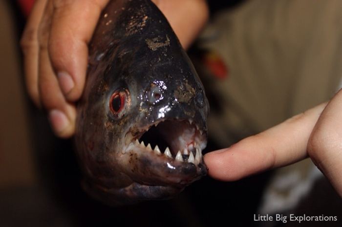 Piranha_fishing_limoncocha
