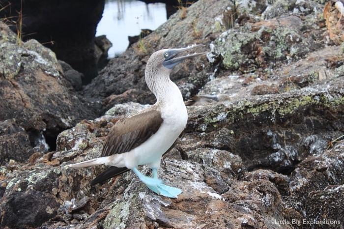 dancing_blue_footed_booby_galapgos