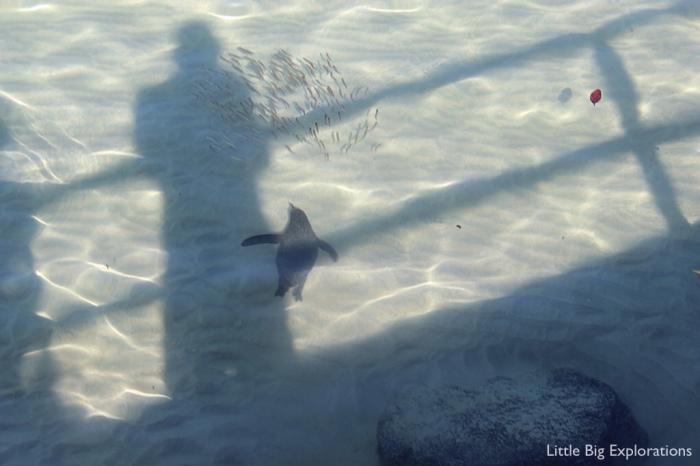 pinguin_fishing_galapagos